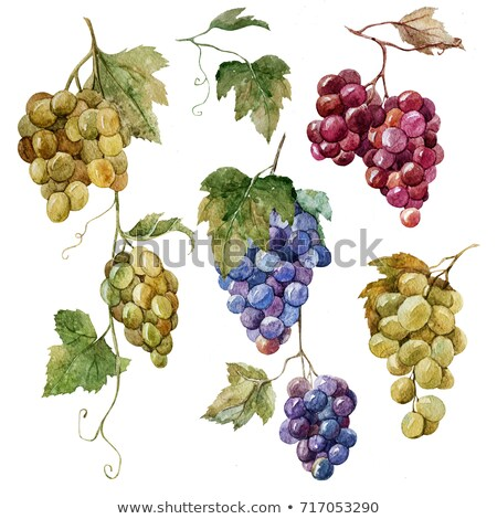 Watercolor collection of bunches of grapes Stock photo © Sonya_illustrations