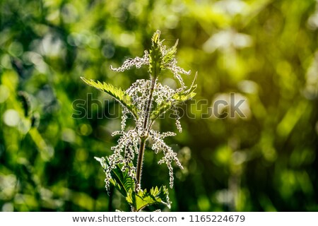 Stinging nettle in the back light Stock photo © Kidza