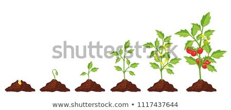 Tomate semis travaux nature fond terre Photo stock © nenovbrothers