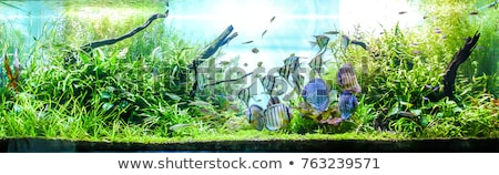 Discus aquarium bleu eau poissons fond Photo stock © cookelma