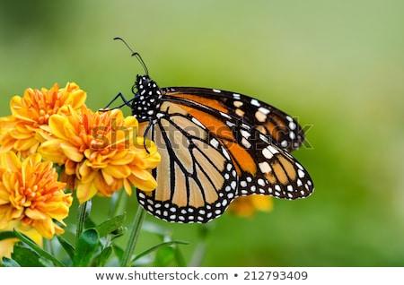 preto · tigre · borboleta · isolado · branco · primavera - foto stock © dirkr