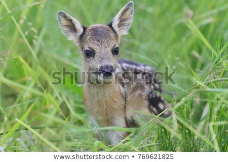 Jeleń młodzież dzikie zwierzęta naturalnych siedlisko Zdjęcia stock © taviphoto