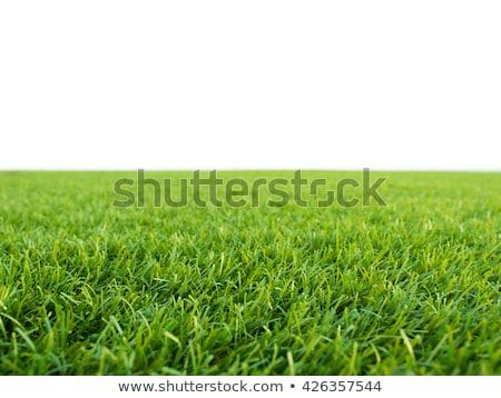 Trawy zielone golf roślin studio Zdjęcia stock © Hofmeester