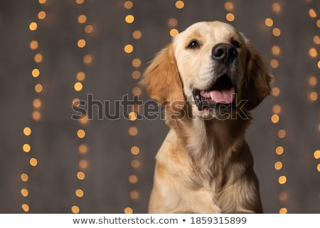 adorable seated labrador with tongue exposed looks up Stock photo © feedough