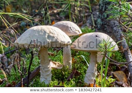 Foto stock: Three Leccinum Mushrooms Grows