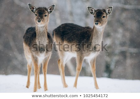 fallow deer herd at dawn Stock photo © taviphoto