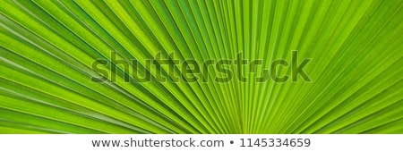 Green Footstool Palm Leaf through which the sun shines through Stock photo © galitskaya