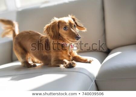 такса · собака · диван · белый · коричневый · млекопитающее - Сток-фото © lopolo