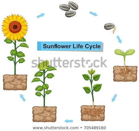 Diagram showing life cycle of sunflower Stock photo © colematt