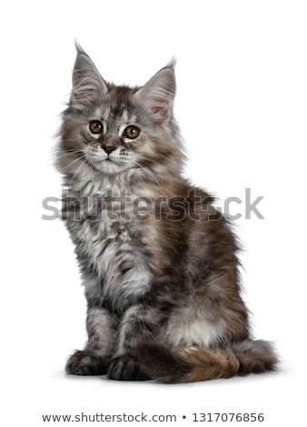pretty tortie maine coon kitten on white stock photo © catchyimages