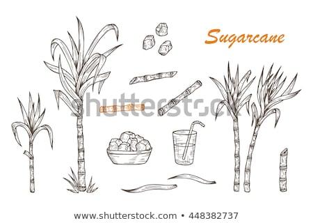 Sugar cane set. Cane plant, sugarcane harvest stalk, plant and leaves, sugar ingredient stem. Vector Stock photo © Andrei_
