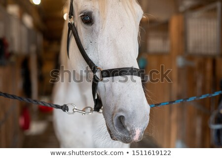 muzzle of young white purebred mare or racehorse with bridles in front of camera stock photo © pressmaster