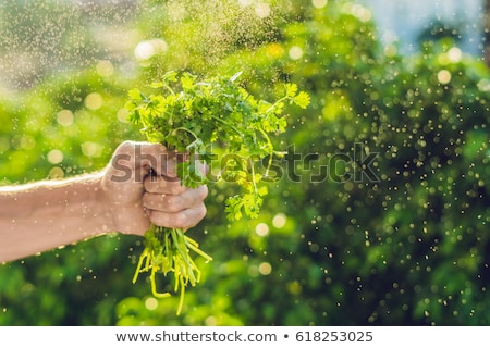 Hand holding Cilantro in the farm And splashing water Sunrise Stock photo © galitskaya