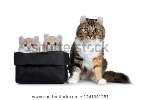 Two cream with white American Curl cat kittens sitting Stock photo © CatchyImages