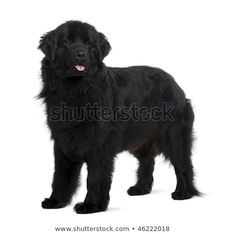 Dwa godny podziwu nowa fundlandia psów posiedzenia Zdjęcia stock © vauvau
