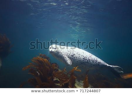 Harbor seal Stock photo © bdspn