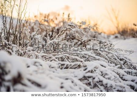 Tél fák bokrok mély hó fagyos Stock fotó © galitskaya