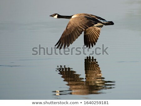 Canada Goose Migration Stock photo © mackflix