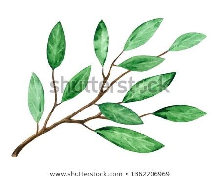 Bamboe tak bladeren groene vers planten Stockfoto © angelsimon