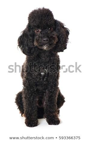 Black Toy Poodle Isolated Stock photo © dehooks