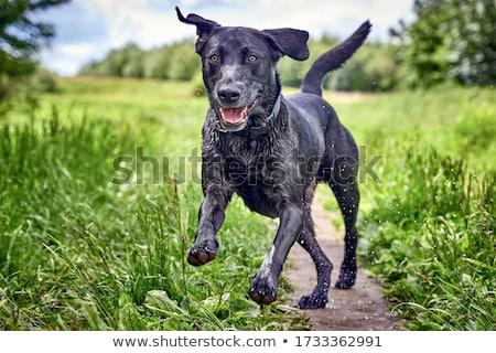 Labrador dog running Stock photo © raywoo