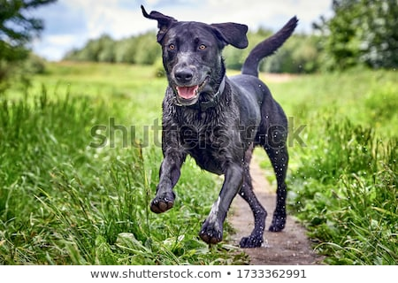 Labrador kutya fut gyep zöld fut Stock fotó © raywoo