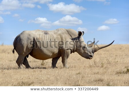 Huge South African rhino Stock photo © Anna_Om
