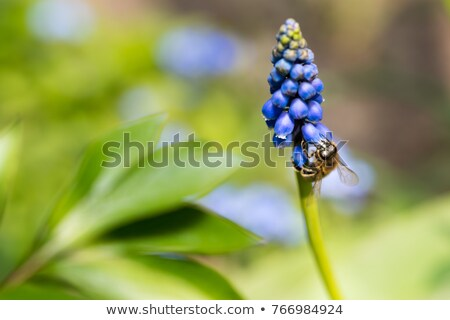 Bee on muscari flower Stock photo © mariematata