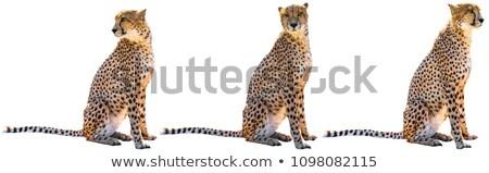 three Cheetahs in the savannah Stock photo © prill