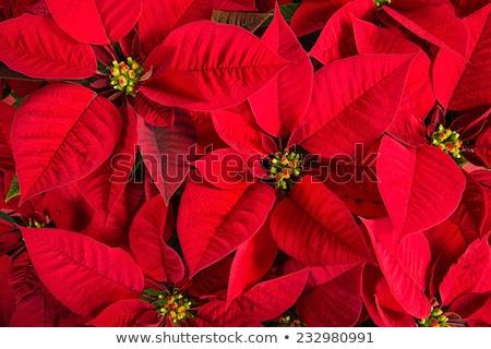 Rood bloem heester klein boom donkere Stockfoto © ribeiroantonio
