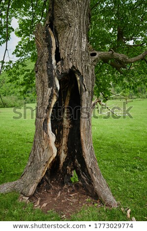 Hollow burnt out tree trunk Stock photo © byjenjen