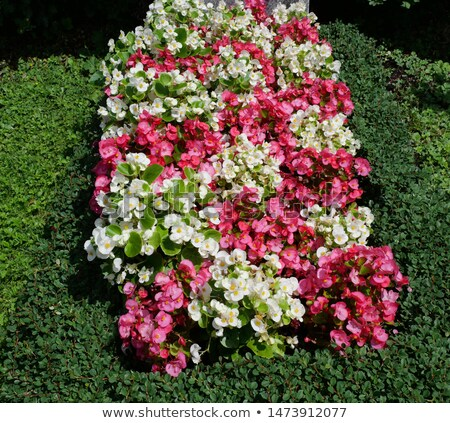 Pink begonia at a tombstone Stock photo © timbrk