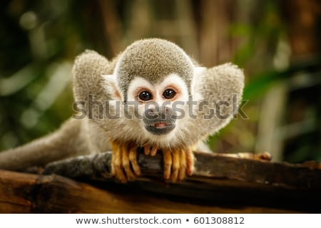 cute squirrel monkey stock photo © forgiss