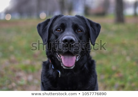 negro · labrador · retriever · cachorro · cute · pequeño · mirando - foto stock © feedough