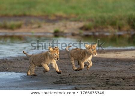 leão · rio · água · natureza · cabelo - foto stock © TanArt