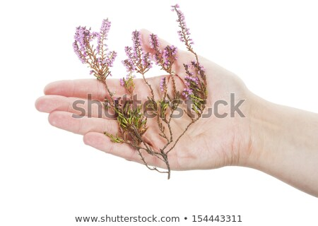 Hand holding dry heather Stock photo © Taigi