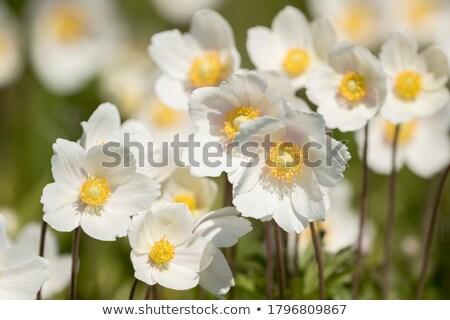 Flower of Anemone sylvestris Stock photo © tainasohlman