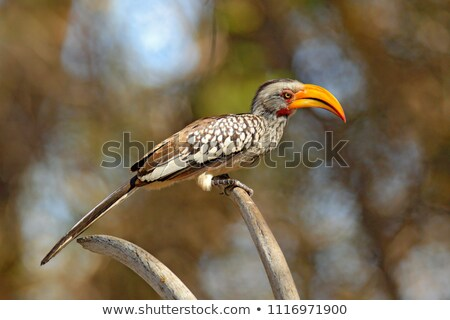 Southern Yellow Billed Hornbill (Tockus leucomelas) Stock photo © dirkr