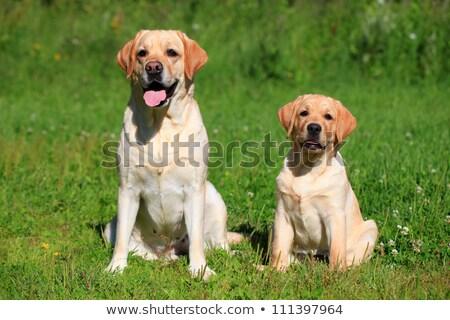 Labrador retriever kiskutyák anya egy hét öreg Stock fotó © silense