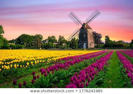 wooden windmills in dutch village stock photo © rglinsky77