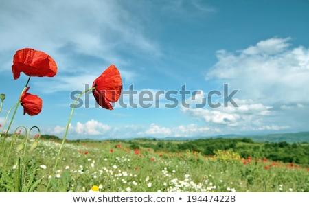 Poppy filed Stock photo © mady70