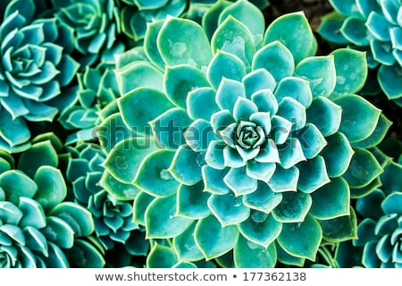Succulent plant closeup with pink flower stock photo alessandro stock photo succulent plant closeup with pink flower mightylinksfo