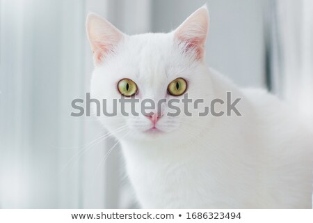 two White cats with blue and yellow eyes Stock photo © eriklam