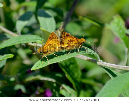 Peck's skipper or Polites peckius, Close up small brown butterfl Stock photo © Yongkiet