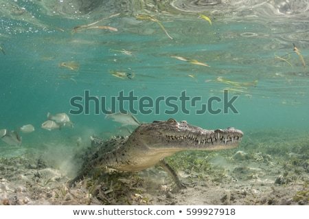 American crocodile  Stock photo © OleksandrO