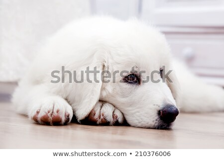 cute white puppy dog lying on wooden floor polish tatra sheepdog stock photo © photocreo