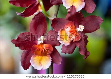 Orkide bahçe beyaz pembe dekorasyon yakın Stok fotoğraf © slunicko