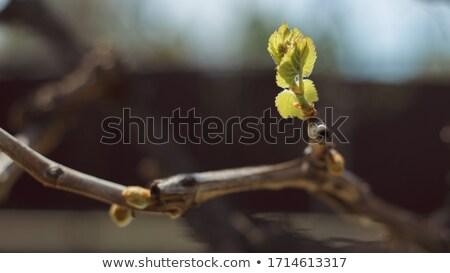 üzüm ilk yaprakları büyümüş bahar Stok fotoğraf © avq