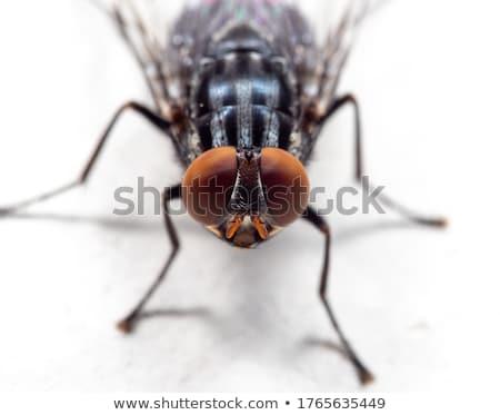 Közelkép fehér makró izolált légy állat Stock fotó © Anterovium