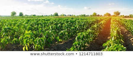 Plantations of peppers in the field Stock photo © deyangeorgiev